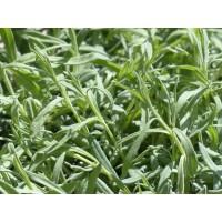Herb Oregano (50 Seeds)