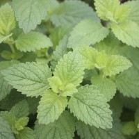 Herb Lemon Balm (50 Seeds)