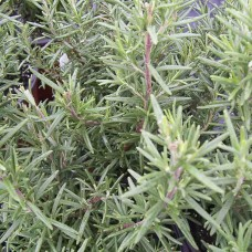 Herb Rosemary (50 Seeds)