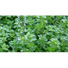 Herb Thyme (50 Seeds)