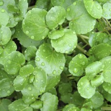 Herb Watercress (50 Seeds)