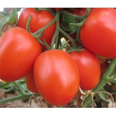Tomato egg shaped Hybrid