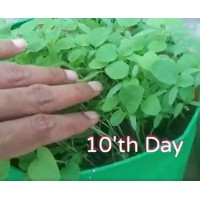 Microgreen Amaranthus Seeds(20 Grms)