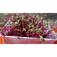 Microgreens Beetroot Seeds (20 Grms)