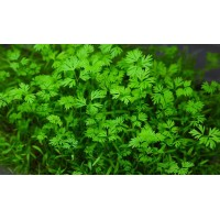 Microgreen Carrot Seeds (20 Grms)