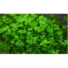 Microgreen Carrot Seeds (20 Grms)