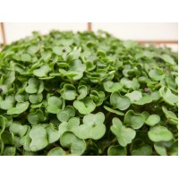 Microgreen Kale (300 Seeds)
