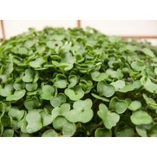 Microgreen Kale (300 Seeds)