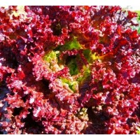 Microgreen Lettuce Red Seeds(300 seeds)