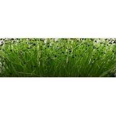 Microgreen Onion Seeds(20 Grms)