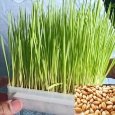 Microgreen Wheat Grass Seeds (100 Grams)