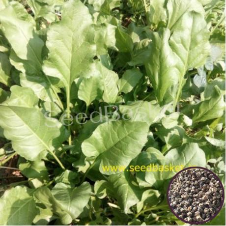Palak/Spinach (300+ Seeds)