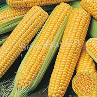 Indian Corn/Maize (20 seeds)