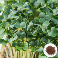 Microgreen Kale (600 Seeds)