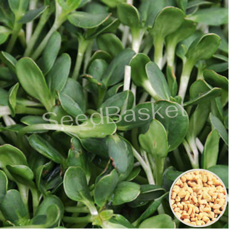 Microgreen Methi Seeds(20 Grms)