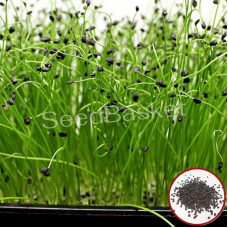 Microgreen Onion Seeds(20 Grms)