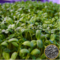 Microgreen Sunflower Seeds (50 Grams)