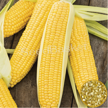 Sweet Corn (40+ Seeds)